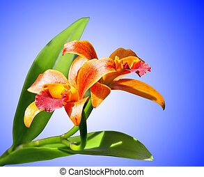 Blossoming orchids on blue background