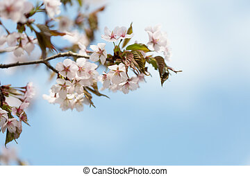 blossoming Oriental cherry sakura branch against the blue sky