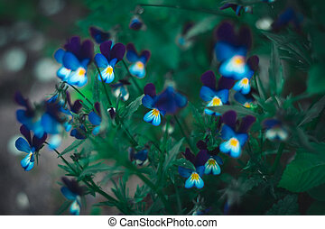 Blossoming pansies. Soft focus.