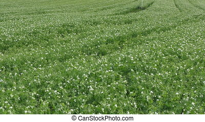 Blossoming pea plant in field
