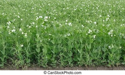 Blossoming pea plant in field, zoom in video - Closeup of...