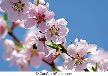 Blossoming peach. Flowering white tree. Bee pollinates ...