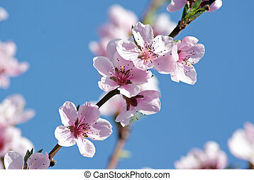 Blossoming peach