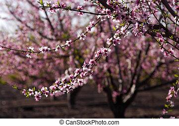 Blossoming Peach Tree - A blossoming peach tree in an...