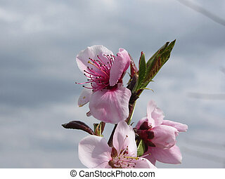 Blossoming peach tree against the cloudy sky . Tuscany, Italy