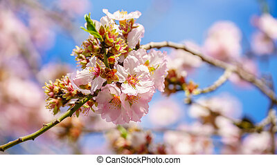 Blossoming peach tree branch