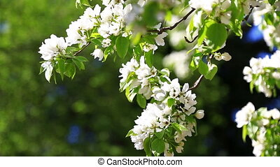 blossoming pear tree in spring day
