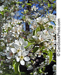 Blossoming pear tree. Orchard in springtime.