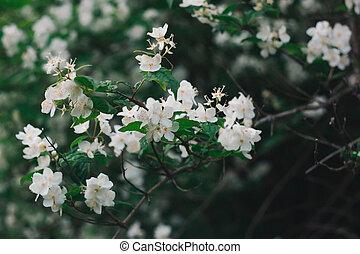 Blossoming Philadelphus . Soft focus. - Blossoming...