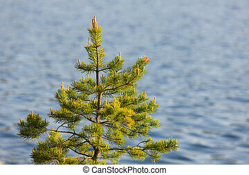 pine in the spring