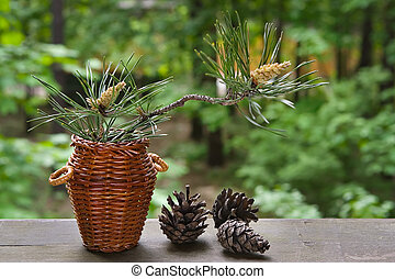 Blossoming pine-tree-young branch and last year\\\'s cones