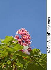 Blossoming pink chestnut against the blue sky