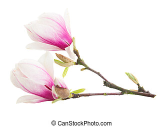 Blossoming pink magnolia tree Flowers