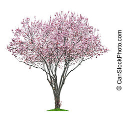 pink sacura tree - blossoming pink sacura tree isolated on...