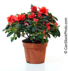 Blossoming plant of azalea in flowerpot isolated on white.
