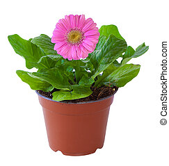 Blossoming plant of pink gerbera in flowerpot isolated on white.
