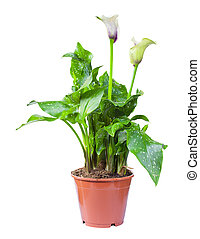 Blossoming plant of santadeziya in flowerpot isolated on white.