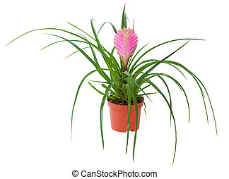 Blossoming plant of Tillandsia in flowerpot isolated on white.