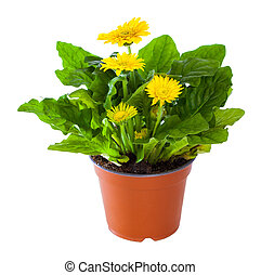 Blossoming plant of yellow gerbera in flowerpot isolated on white.