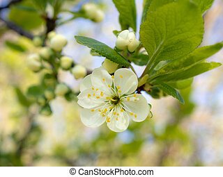 plum in the spring