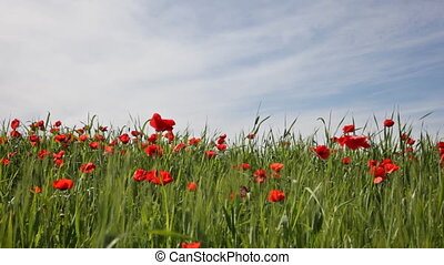 Blossoming poppies in the field under the blue sky