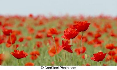 Blossoming Poppies Swaying With Wind