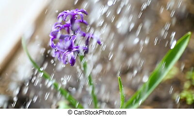 blossoming purple hyacinth flower