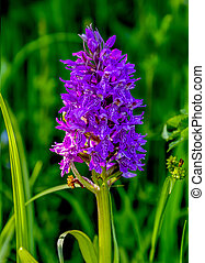 Blossoming purple wild orchid (Orchis militaris) on the meadow, Russia