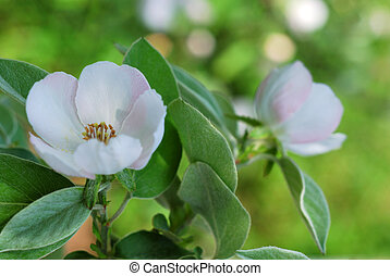 Blossoming quince - Quince branch - blossoming in spring. ...