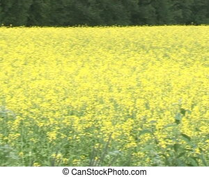 blossoming rapeseed field - blossoming yellow rapeseed field...
