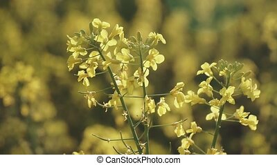 Blossoming Rapeseed Field Close-up, Field of yellow flowering oilseed in spring time