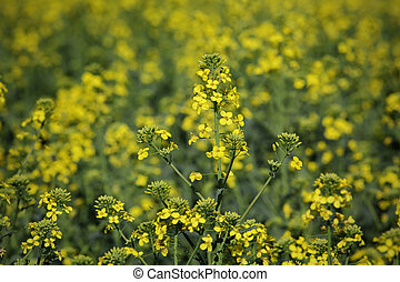 Blossoming rapeseed plant in field