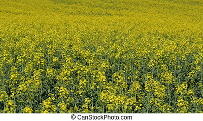 Blossoming rapeseed plants in field