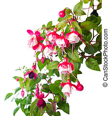 blossoming red and white of a fuchsia is isolated, Alwin