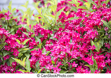 Blossoming red bush. Red Rhododendron bush in the garden