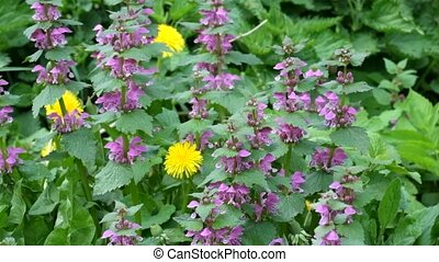 Blossoming red dead nettle swaying in the wind (Lamium...