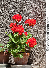 Blossoming red geranium in a ceramic pot to stand near an old wall