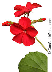 Blossoming red geranium