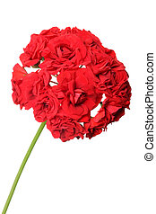 Blossoming red geranium isolated on a white background