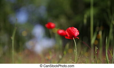 Blossoming red poppy against a green grass