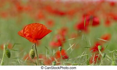 Blossoming red poppy flowers