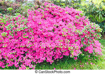 Blossoming Rhododendron bush with pink flowers (closeup)