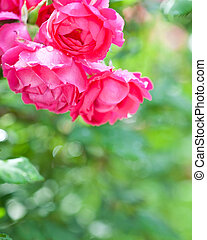 Blossoming rose bush in spring