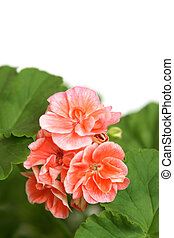 Blossoming salmon geranium