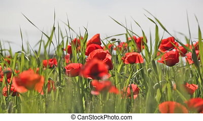 Blossoming scarlet poppies wave on a wind