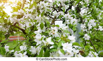 Blossoming spring apple garden with white flowers
