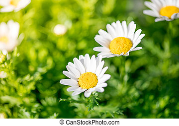 Blossoming spring meadow with chamomile flowers. Beautiful Blooming landscape in sunny day. Nature concept for your design
