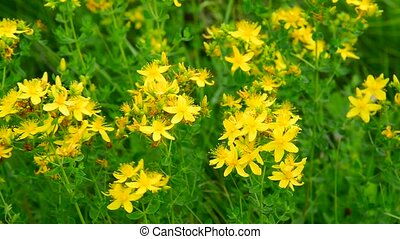 Blossoming St. John's wort close-up
