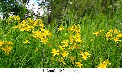 Blossoming St. John's wort