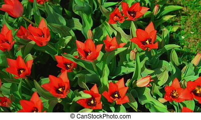 Blossoming star tulips with dew drops - Red flowers are...